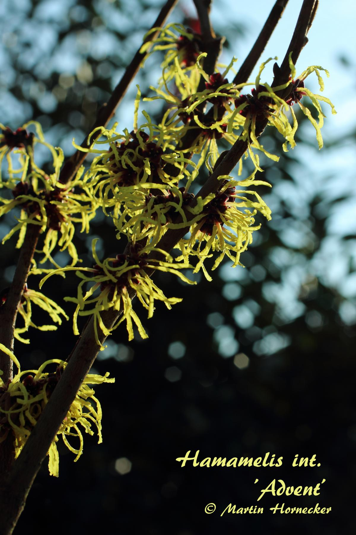 Hamamelis Advent