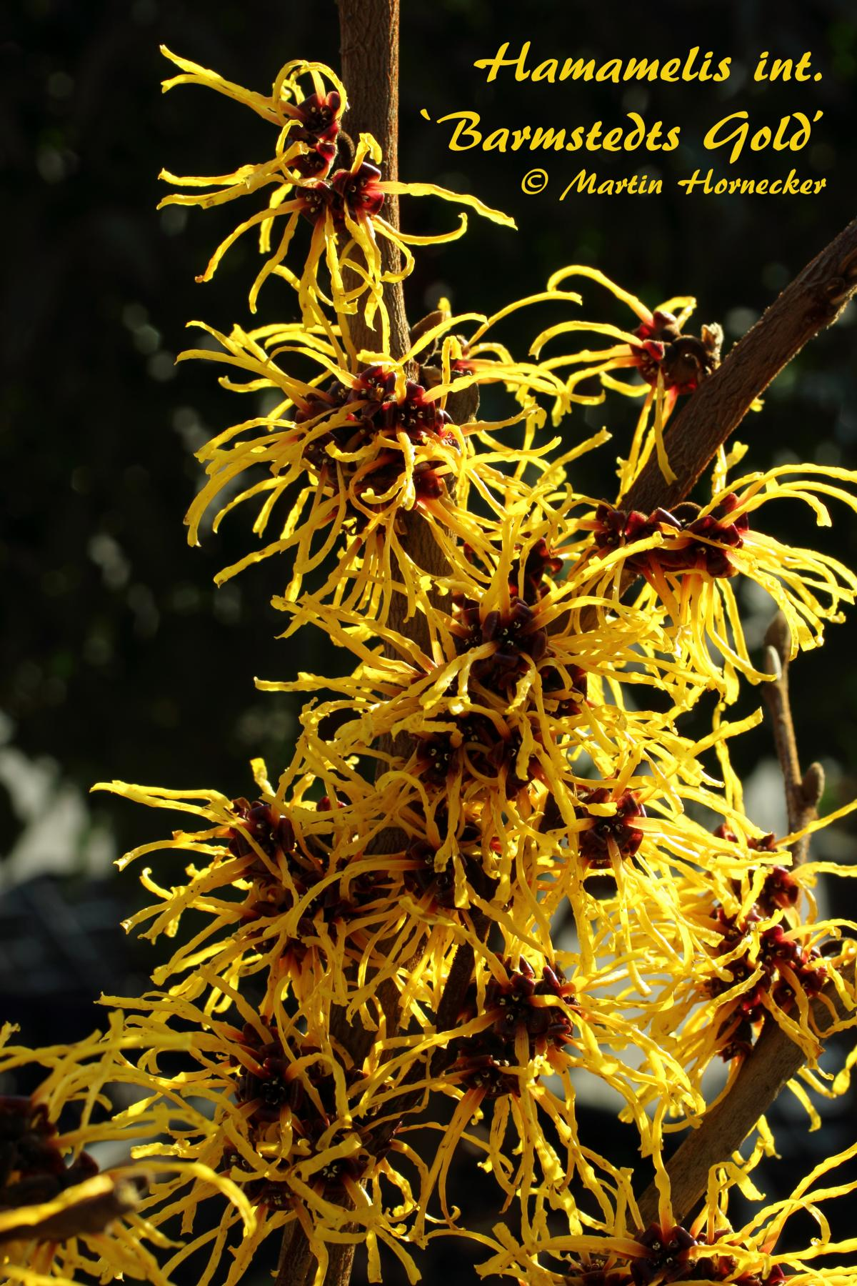 Hamamelis Barmstedts Gold