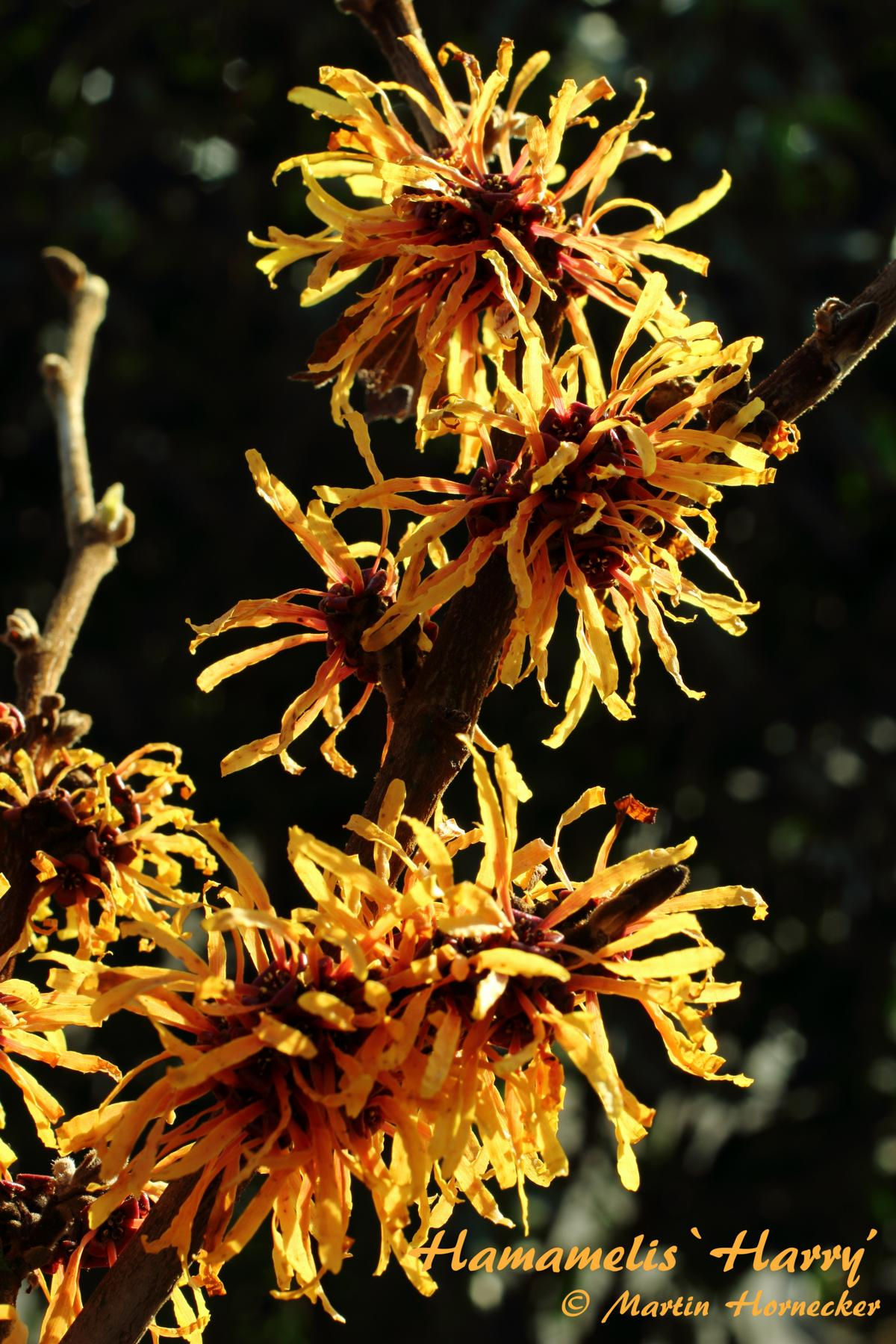 Hamamelis Harry