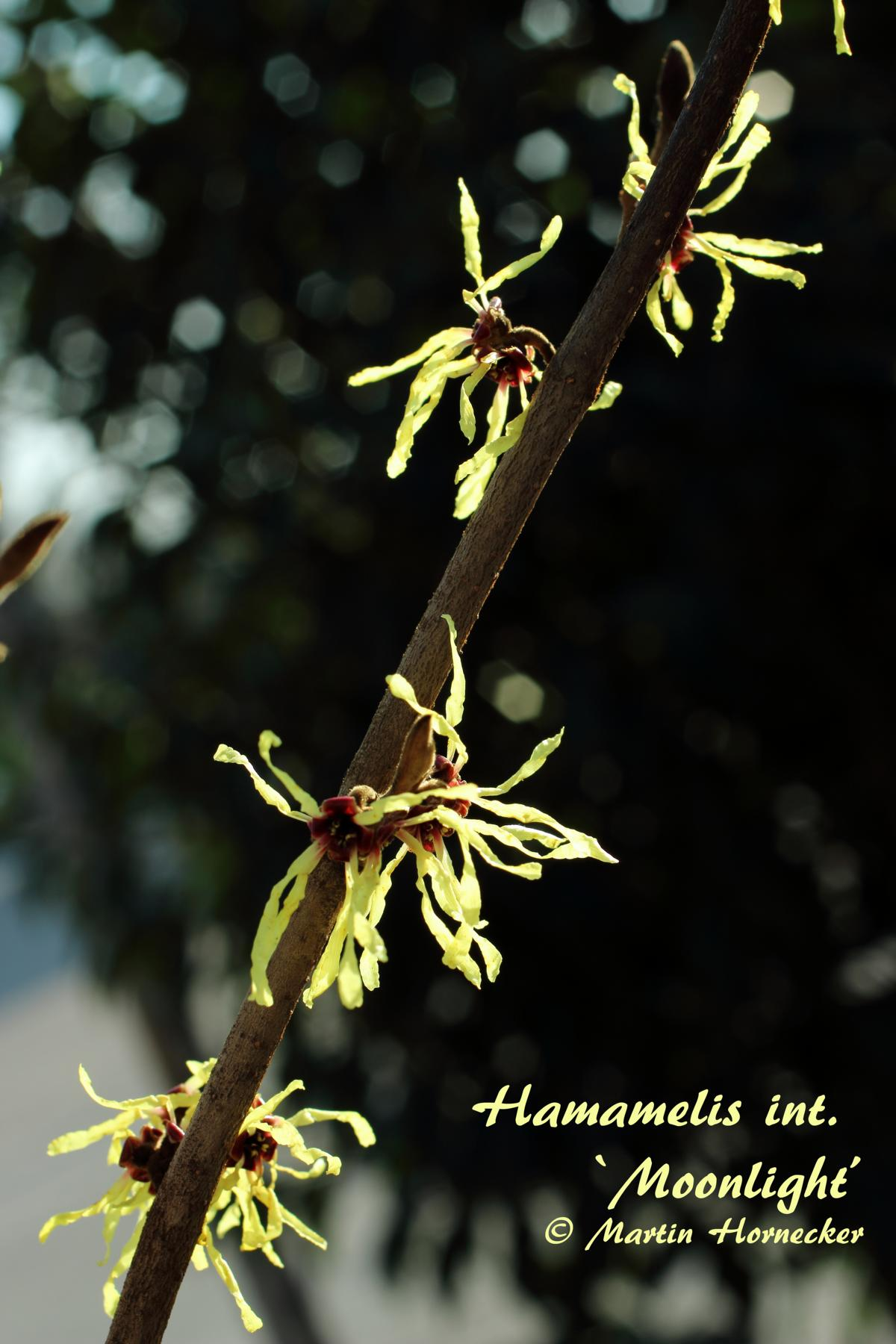 Hamamelis Moonlight