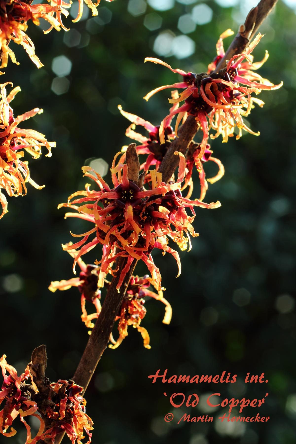 Hamamelis Old Copper