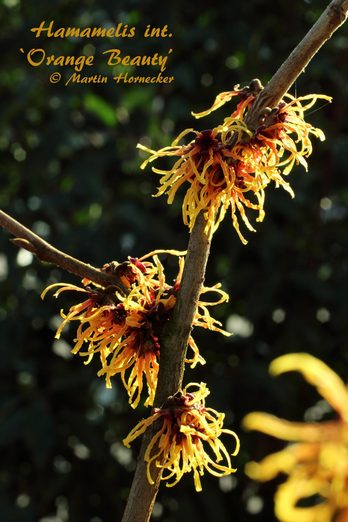 Hamamelis Orange Beauty